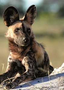 Painted Dogs Schutzprojektreise Simbabwe