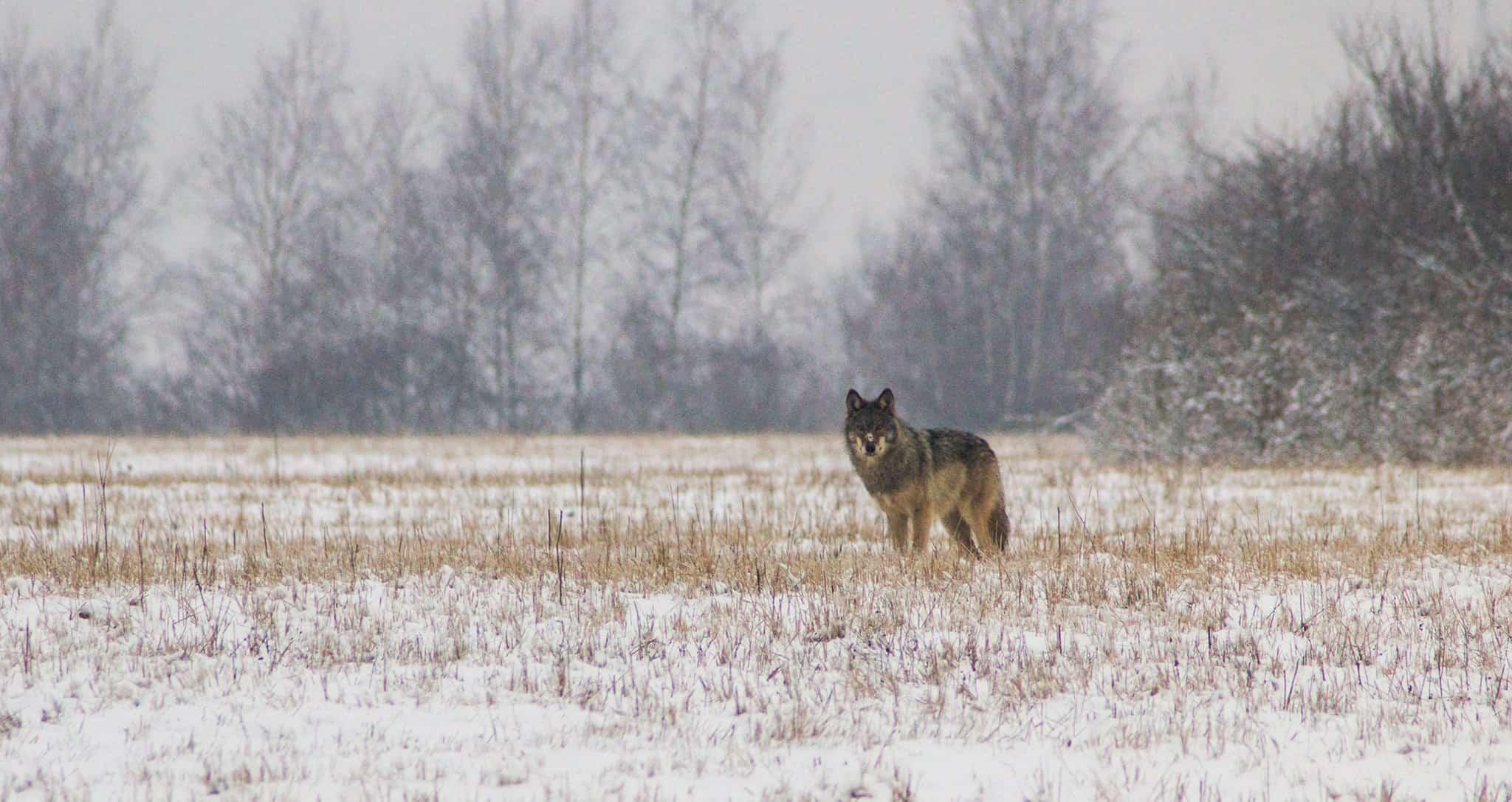Wolf gesichtet auf Lausitz-Exkursion