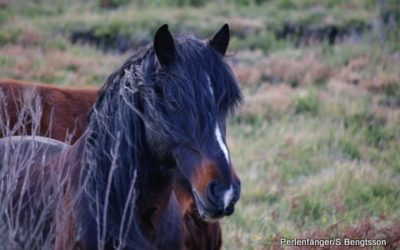 Garrano Wildpferde Projekt