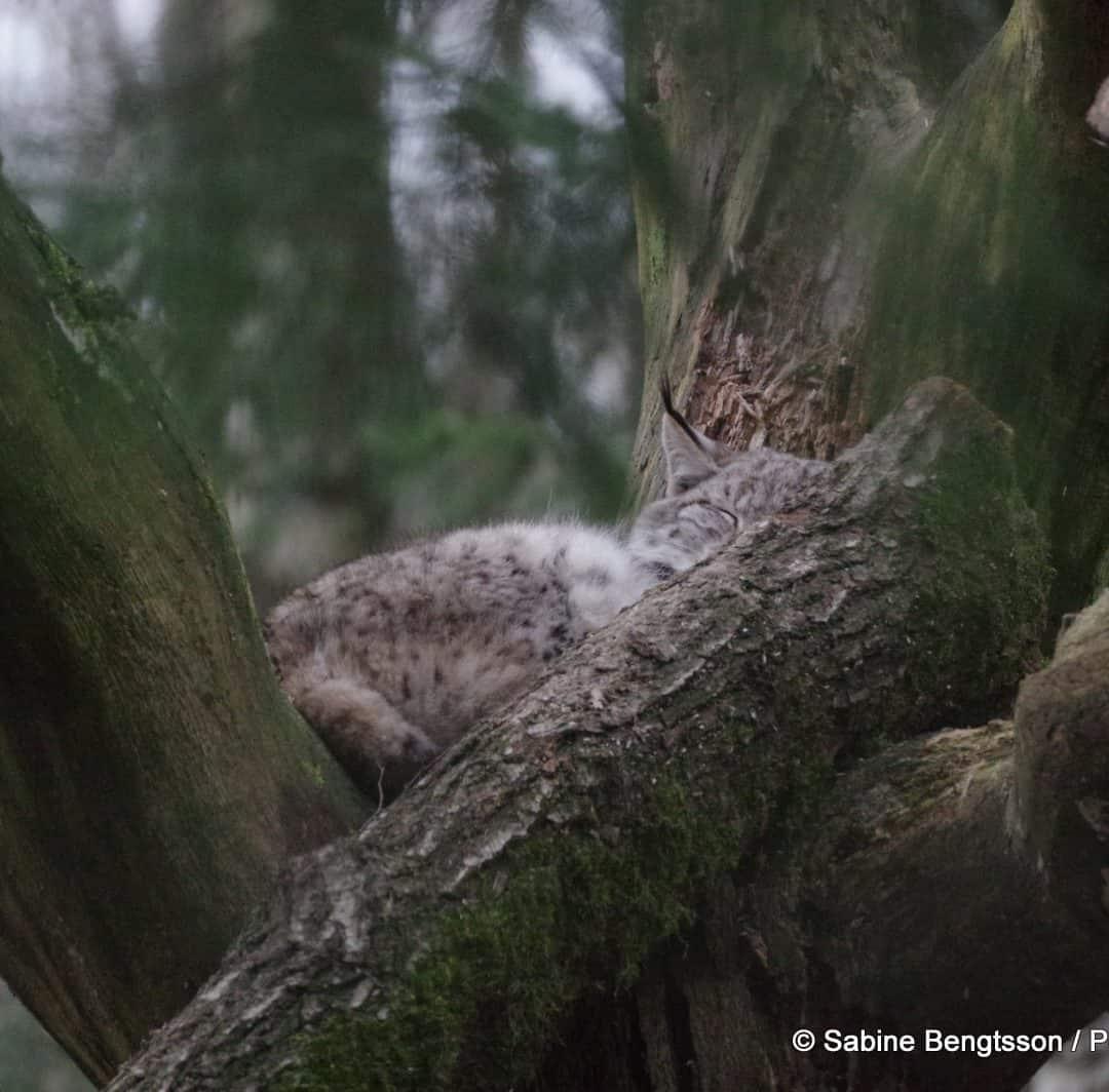 Große Raubtiere in Schweden werden zur Jagd freigegeben