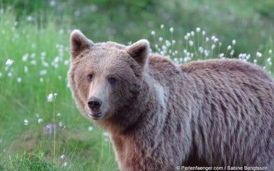 Schweden – im Reich der wilden Bären