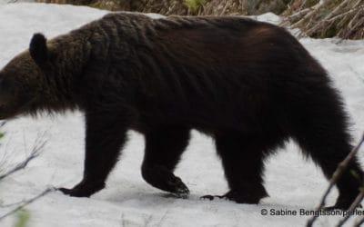 Japan – wilde Natur und viele Bären!