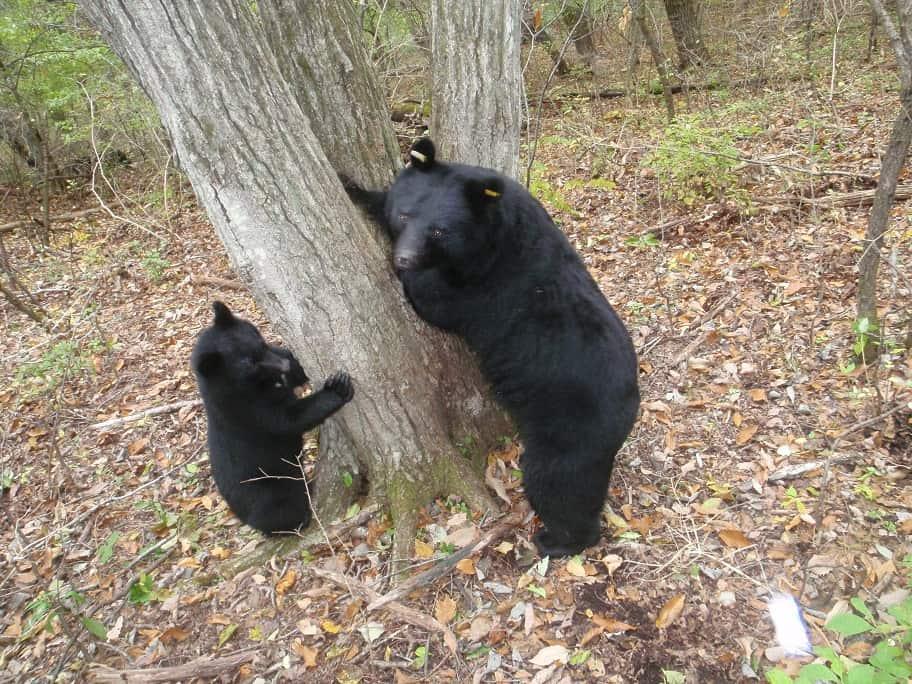 Asiatische Schwarzbären