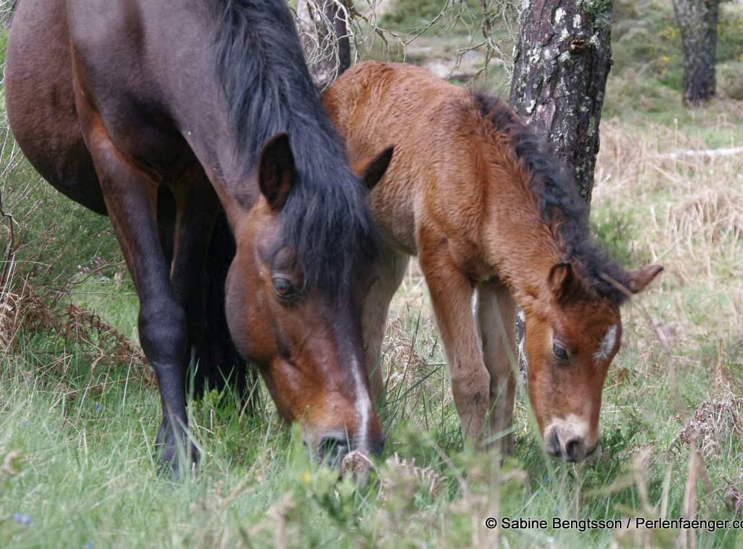 Lobito das Wildpferdefohlen aus Portugal