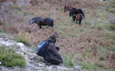 Geschichte der Garrano Wildpferde
