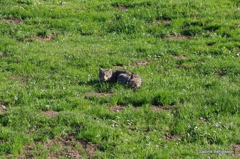 Wildkatzen im Hunsrück