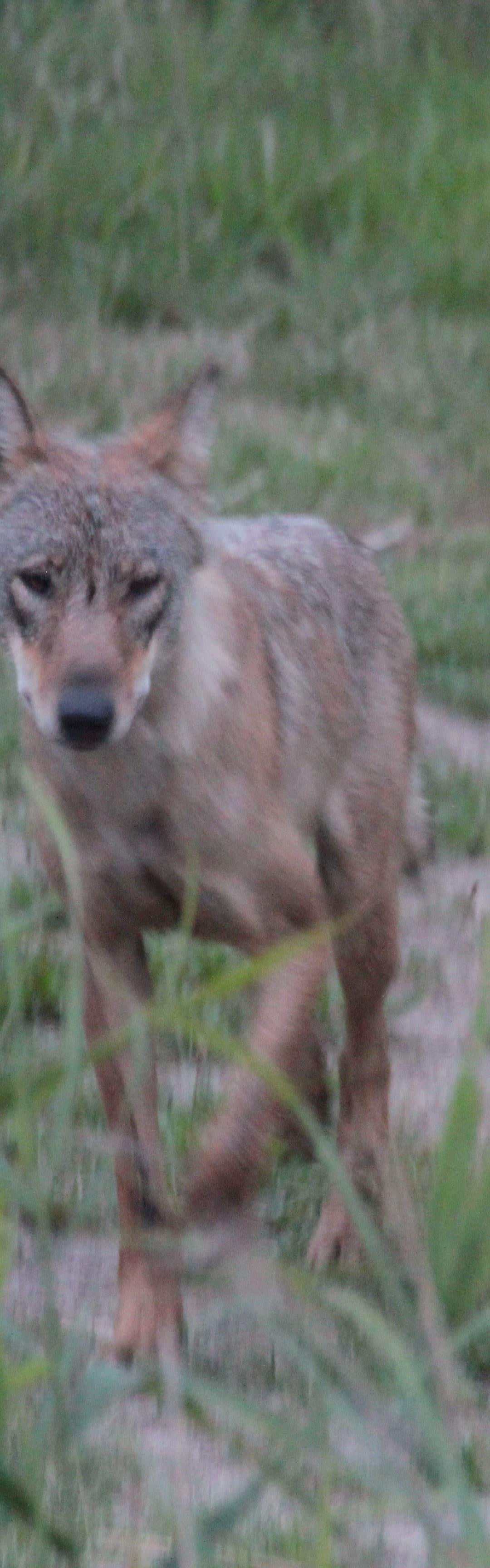 Aktueller Managementplan für Wölfe in Sachsen