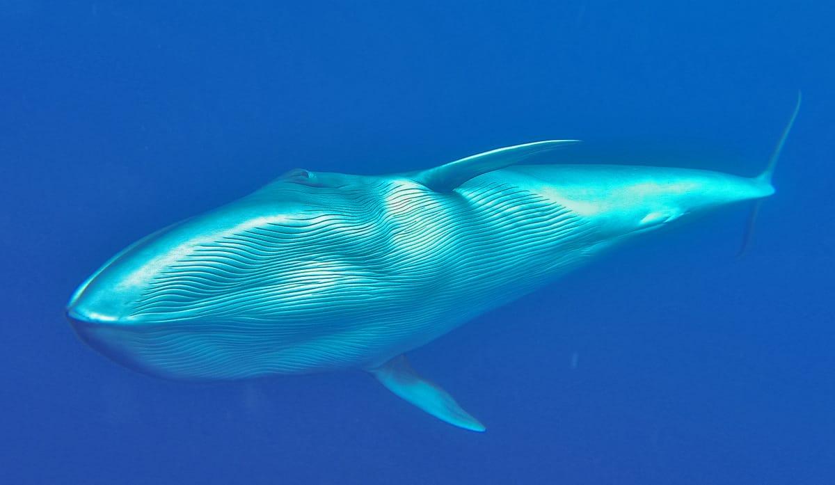 Unglaubliche Sichtungen bei unseren respektvollen Whalewatchingtouren