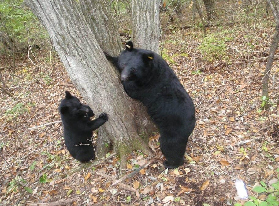 Asiatische Schwarzbären – Japan