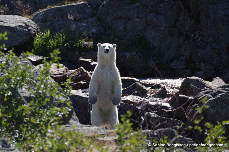 Land´s End – wo Eisbären Fische fangen…